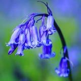 关闭会开蓝色钟形花的草 库存照片