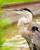 关闭伟大蓝色的苍鹭的巢画象  图库摄影