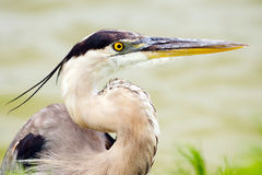 关闭伟大蓝色的苍鹭的巢画象  库存图片