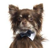 关闭佩带蝶形领结的奇瓦瓦狗,隔绝 免版税库存照片