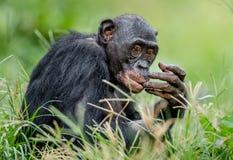 关闭倭黑猩猩画象在自然生态环境 库存照片