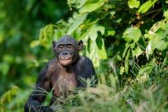 关闭倭黑猩猩画象  免版税库存图片