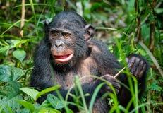 关闭倭黑猩猩画象  图库摄影