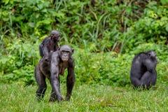 关闭倭黑猩猩Cub画象在母亲` s后面的 免版税库存图片