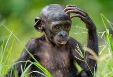 关闭倭黑猩猩Cub画象  免版税库存图片