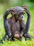 关闭倭黑猩猩Cub画象  库存照片
