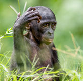 关闭倭黑猩猩Cub画象  免版税图库摄影