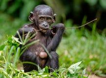 关闭倭黑猩猩Cub画象  图库摄影