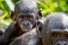 关闭倭黑猩猩Cub画象  库存图片