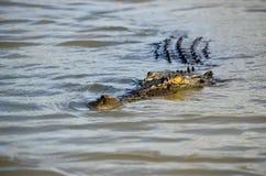 关闭偷偷靠近您的澳大利亚盐水鳄鱼在一条黑暗的河 免版税图库摄影