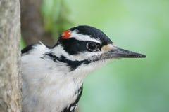关闭先生 柔软的啄木鸟 免版税库存图片