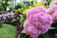 关闭八仙花属花的美好的桃红色颜色开花在绿色叶子和多颜色背景的 免版税库存图片