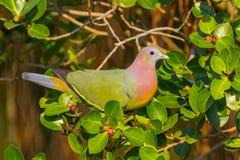 关闭公桃红色收缩的绿色鸽子(Treron vernans) 免版税库存图片