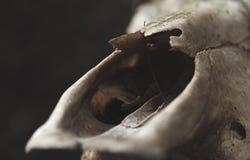 关闭公牛在黑墙壁背景的` s头骨细节  选择聚焦 图库摄影