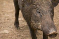 关闭公猪 免版税库存照片