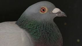 关闭公鸽子鸟的票据和面孔在黑色的 股票录像