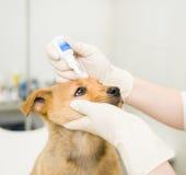 关闭兽医水滴下落对小狗眼睛在诊所 免版税库存图片