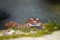 关闭再生产在河的共同的青蛙 免版税图库摄影