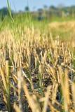 关闭农夫种植谷物米,农业领域的黄色领域 库存照片