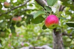 关闭准备好一个红色mccantosh的苹果从苹果树被采摘 免版税库存照片