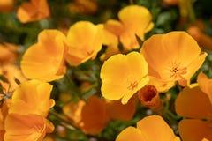 关闭加利福尼亚金黄鸦片在阳光下 免版税图库摄影