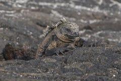 关闭加拉帕戈斯群岛鬣鳞蜥 库存图片