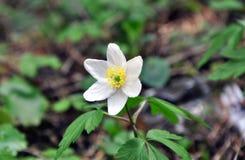 关闭加拿大银莲花属花 库存图片