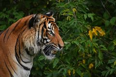 关闭印度支那的老虎旁边外形画象  库存图片