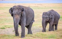 关闭印度象-母亲和婴孩 免版税库存照片