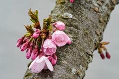 关闭发芽从树干的樱花 免版税库存图片