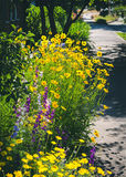 关闭叫的金鸡菊pubescens担任主角tickseed和翠雀 免版税库存照片