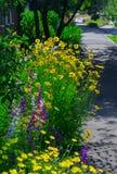 关闭叫的金鸡菊pubescens担任主角tickseed和翠雀 图库摄影