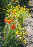 关闭叫的金鸡菊pubescens担任主角tickseed和翠雀 库存图片
