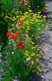 关闭叫的金鸡菊pubescens担任主角tickseed和翠雀 免版税图库摄影