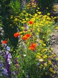 关闭叫的金鸡菊pubescens担任主角tickseed和翠雀 库存照片