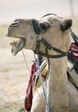 关闭可看见与开放嘴的一头坐的骆驼和的牙 免版税库存照片