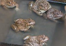 关闭可食的青蛙两栖动物在混凝土罐栖所 库存图片