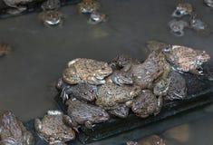 关闭可食的青蛙两栖动物在混凝土罐栖所 库存照片