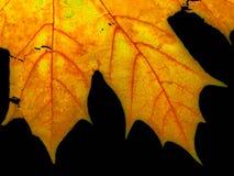 关闭叶子槭树  免版税库存图片