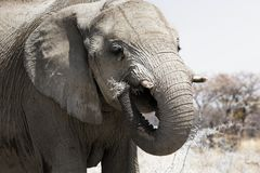 关闭吃在乔贝国家公园,博茨瓦纳的大象 免版税库存图片