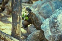 关闭吃在嘴的巨型土地草龟叶子 免版税图库摄影