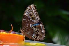 关闭吃果子的热带蝴蝶 免版税库存照片