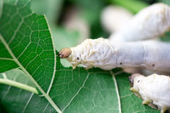 关闭吃桑树的桑蚕 免版税库存图片