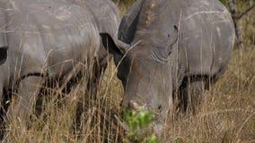 关闭吃草在大草原的非洲白色犀牛干草 股票录像