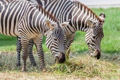 关闭吃草的两匹斑马在动物园里 免版税库存照片