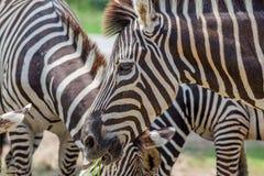 关闭吃草的两匹斑马在动物园里 免版税图库摄影