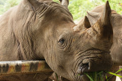 关闭吃草的白犀牛 免版税图库摄影
