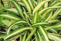 关闭吊兰Chlorophytum comosum的看法 免版税库存照片
