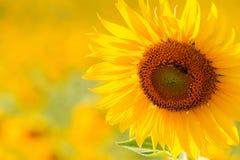 关闭向日葵在草甸 库存图片