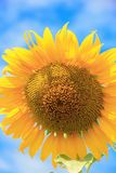 关闭向日葵有蓝天背景 库存照片